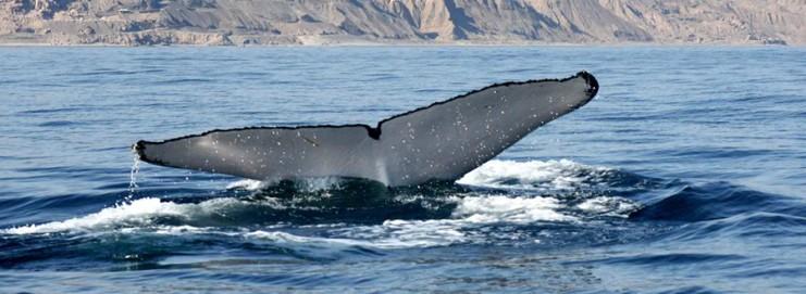 Perou - baleine